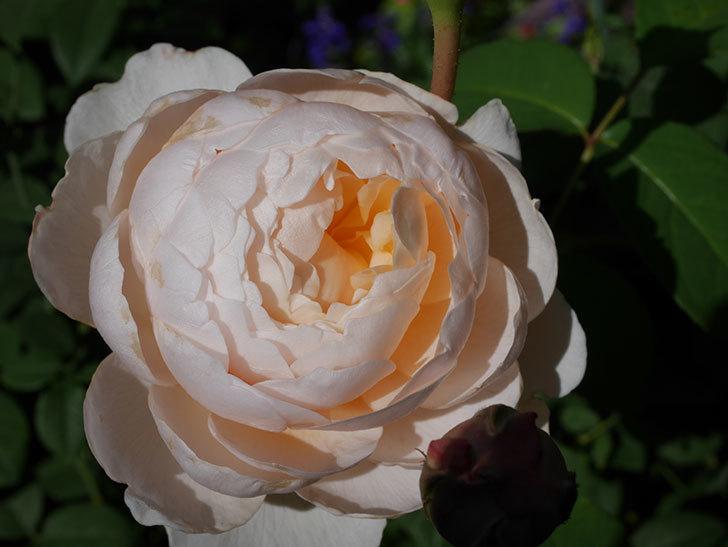 ウィンダミア(Windermere)の秋花が綺麗に咲いた。半ツルバラ。2020年-015.jpg