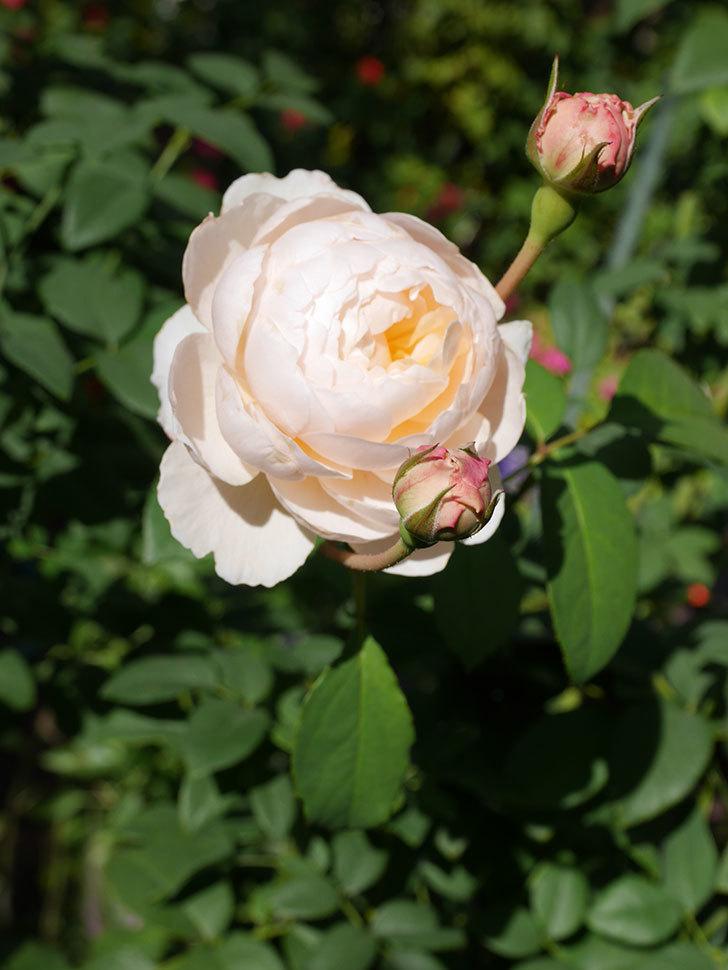 ウィンダミア(Windermere)の秋花が綺麗に咲いた。半ツルバラ。2020年-018.jpg