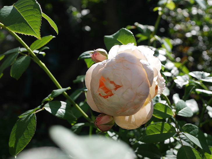 ウィンダミア(Windermere)の秋花が綺麗に咲いた。半ツルバラ。2020年-021.jpg