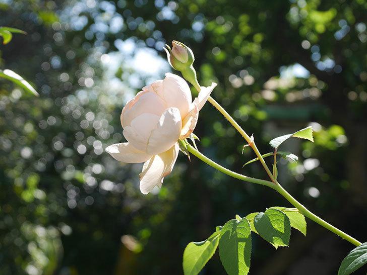 ウィンダミア(Windermere)の秋花が綺麗に咲いた。半ツルバラ。2020年-022.jpg