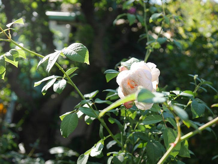ウィンダミア(Windermere)の秋花が綺麗に咲いた。半ツルバラ。2020年-024.jpg