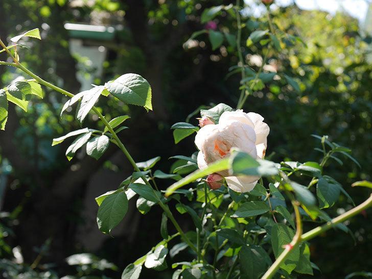 ウィンダミア(Windermere)の秋花が綺麗に咲いた。半ツルバラ。2020年-025.jpg