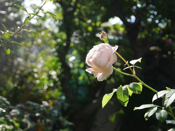 ウィンダミア(Windermere)の秋花が綺麗に咲いた。半ツルバラ。2020年-026.jpg