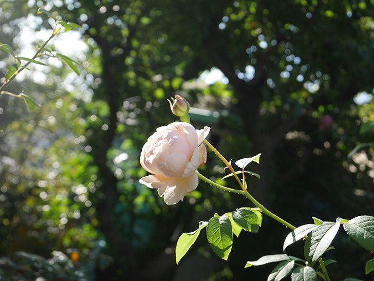 ウィンダミア(Windermere)の秋花が綺麗に咲いた。半ツルバラ。2020年-027.jpg