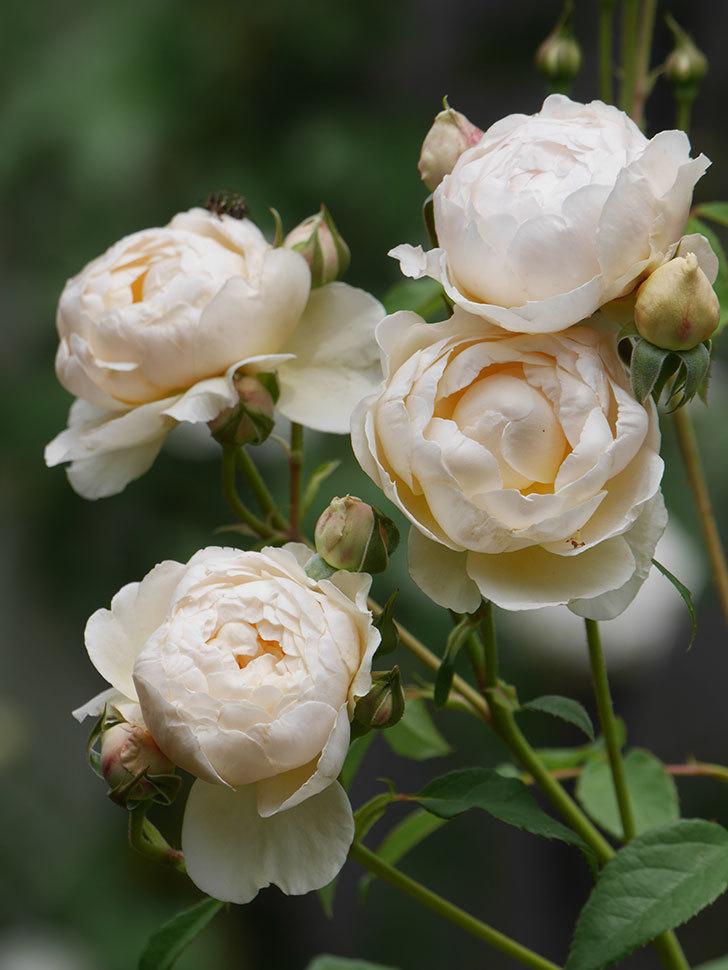 ウィンダミア(Windermere)の花がたくさん咲いた。半ツルバラ。2021年-057.jpg