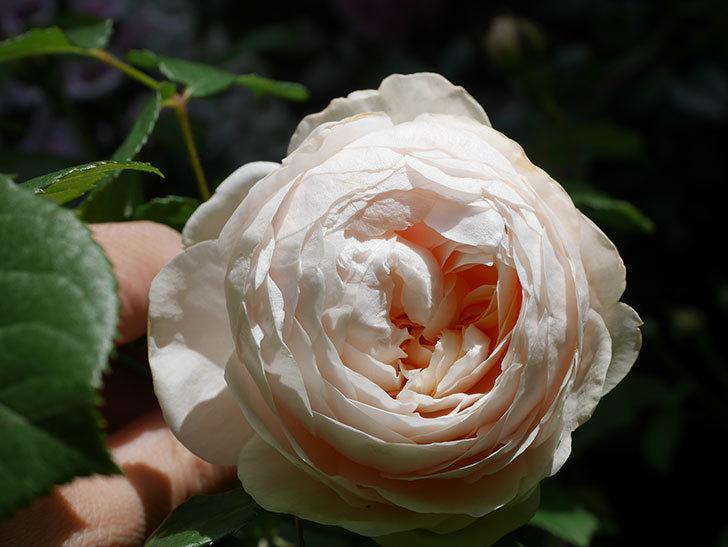 ウィンダミア(Windermere)の花が咲いた。半ツルバラ。2021年-036.jpg
