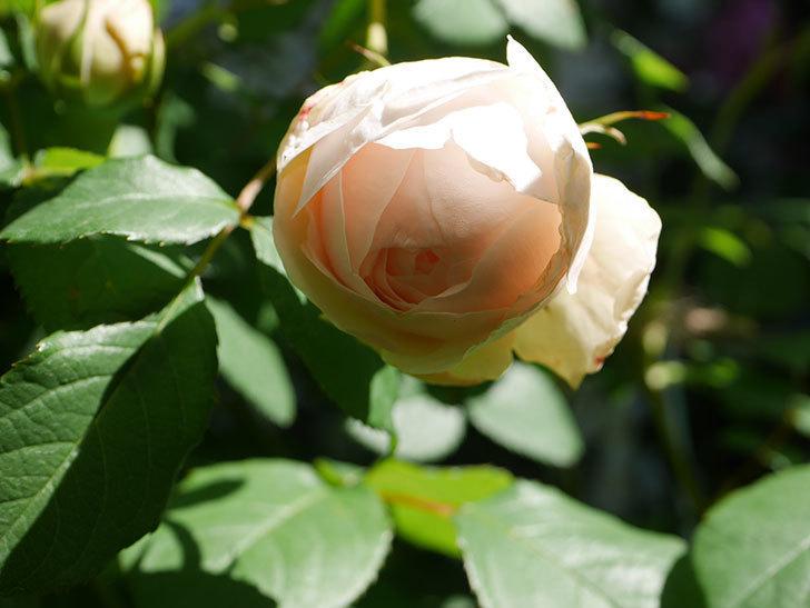 ウィンダミア(Windermere)の花が少し咲いた。半ツルバラ。2021年-024.jpg