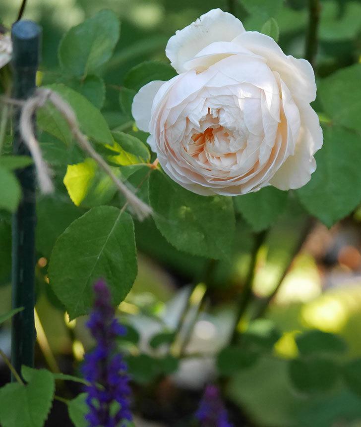 ウィンダミア(半ツルバラ)に2個目の花が咲いた。2020年-1.jpg