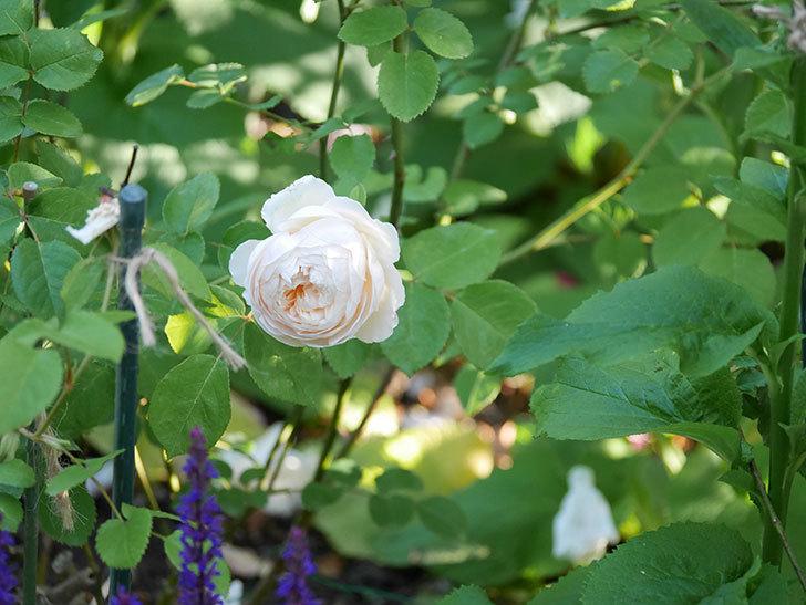 ウィンダミア(半ツルバラ)に2個目の花が咲いた。2020年-2.jpg