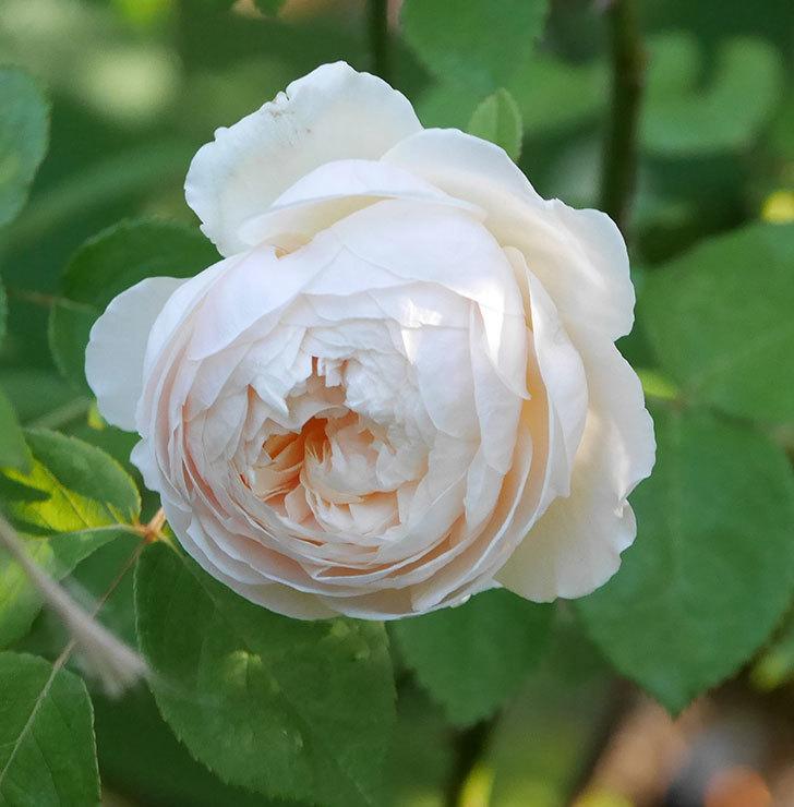 ウィンダミア(半ツルバラ)に2個目の花が咲いた。2020年-3.jpg
