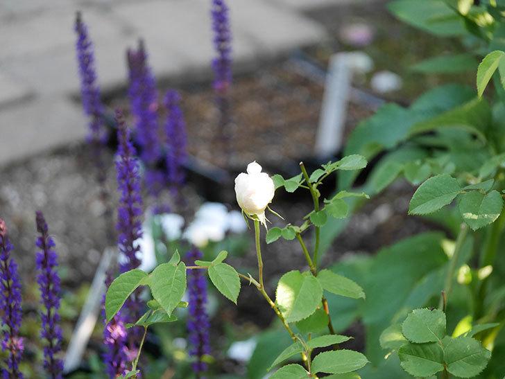 ウィンダミア(半ツルバラ)に2個目の花が咲いた。2020年-4.jpg