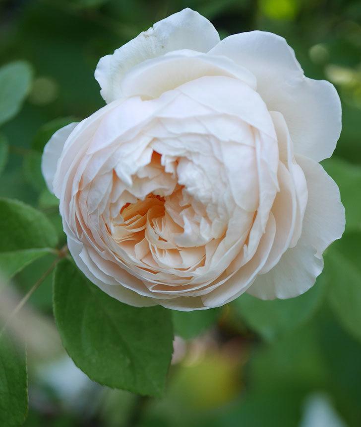 ウィンダミア(半ツルバラ)に2個目の花が咲いた。2020年-5.jpg