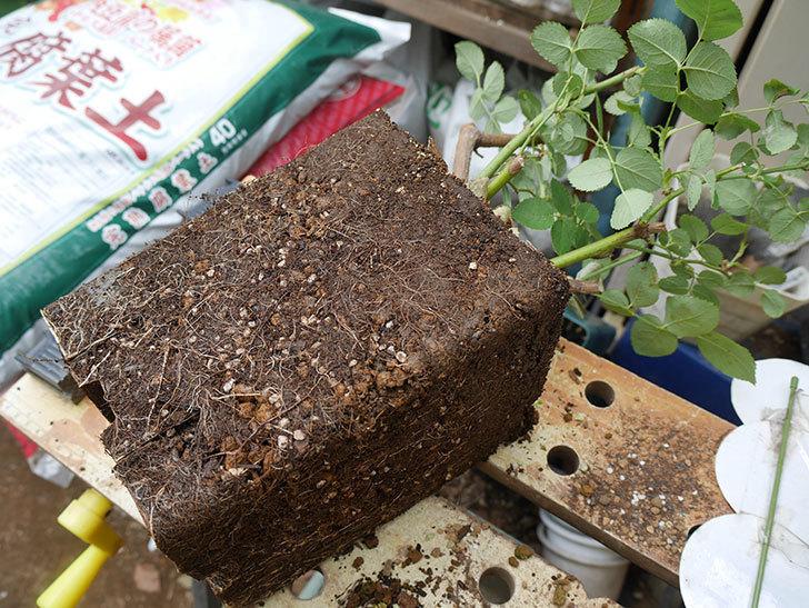 ウィンダミア(半ツルバラ)の大苗をデローマ-アルト-26cmに植え換えた。2019年-1.jpg