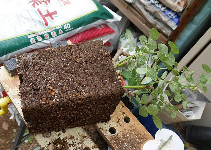 ウィンダミア(半ツルバラ)の大苗をデローマ-アルト-26cmに植え換えた。2019年-3.jpg