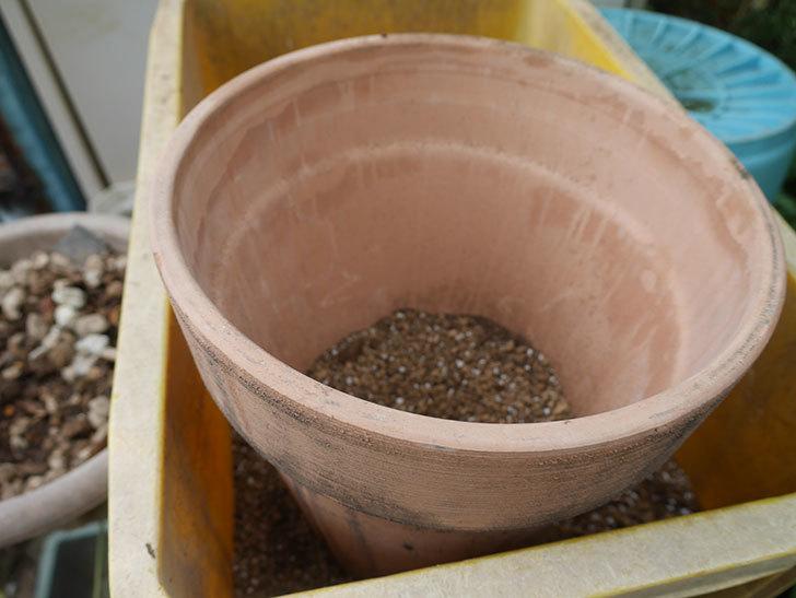 ウィンダミア(半ツルバラ)の大苗をデローマ-アルト-26cmに植え換えた。2019年-4.jpg