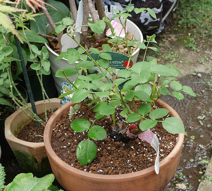 ウィンダミア(半ツルバラ)の大苗をデローマ-アルト-26cmに植え換えた。2019年-6.jpg