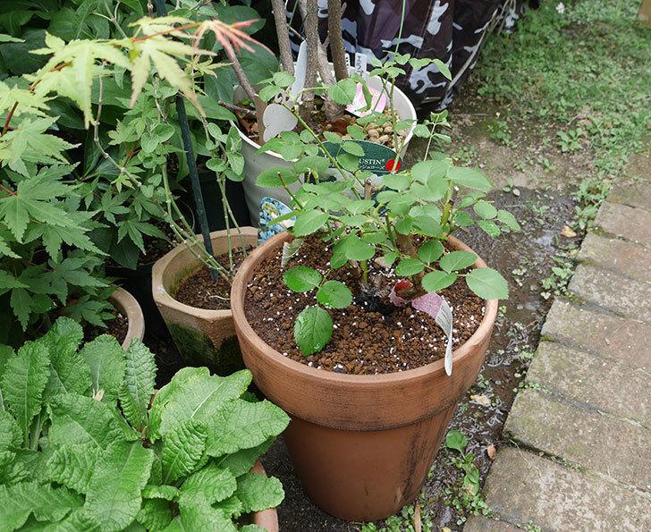 ウィンダミア(半ツルバラ)の大苗をデローマ-アルト-26cmに植え換えた。2019年-7.jpg