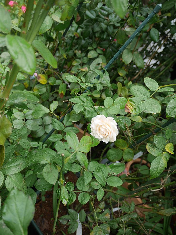 ウィンダミア(半ツルバラ)の秋花が咲いた。2019年-3.jpg
