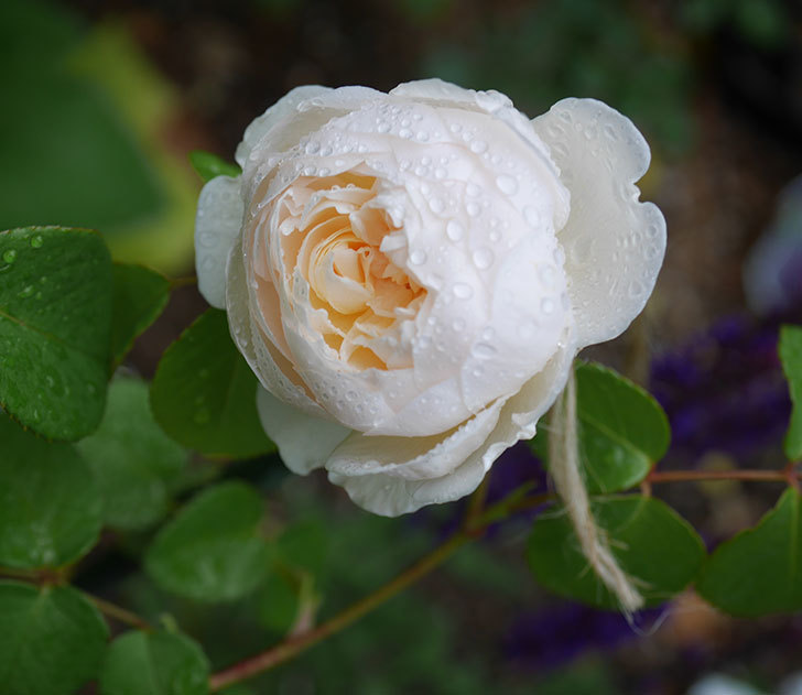 ウィンダミア(半ツルバラ)の花が咲いた。2020年-1.jpg