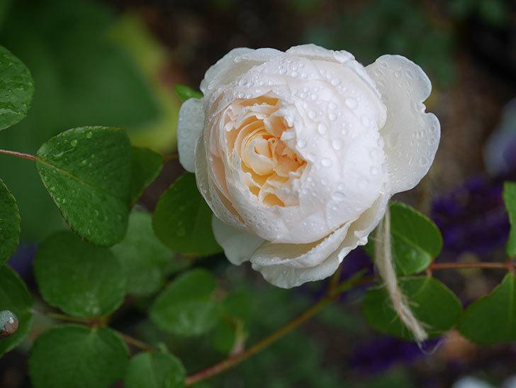 ウィンダミア(半ツルバラ)の花が咲いた。2020年-2.jpg