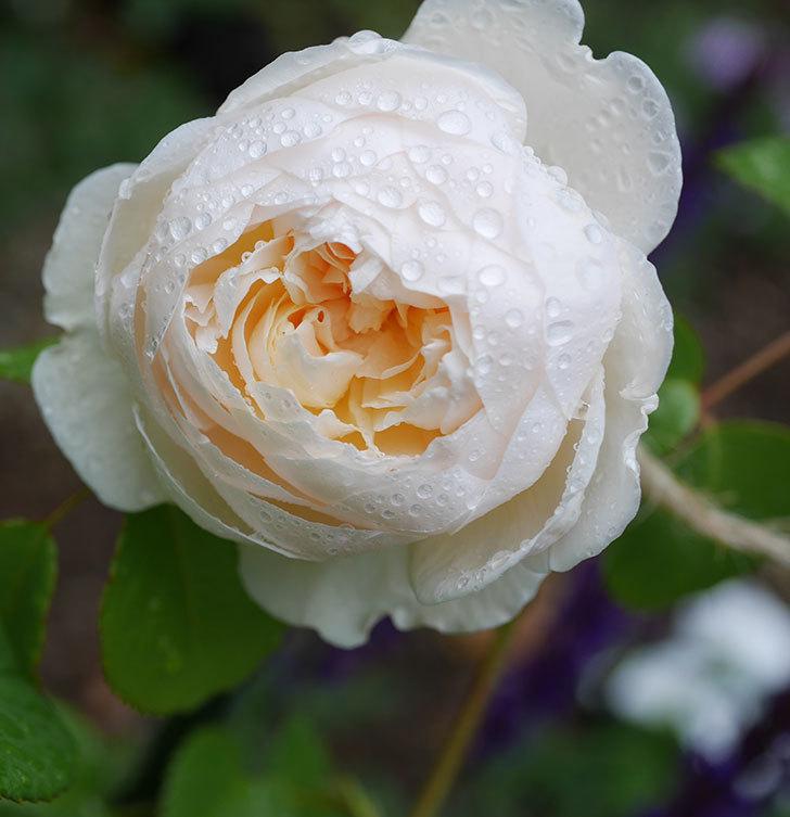 ウィンダミア(半ツルバラ)の花が咲いた。2020年-3.jpg