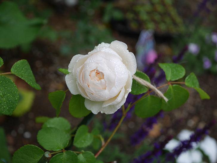 ウィンダミア(半ツルバラ)の花が咲いた。2020年-4.jpg