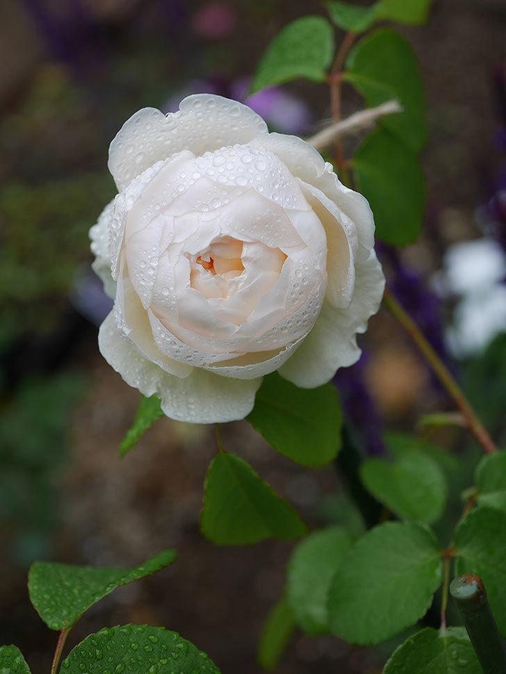 ウィンダミア(半ツルバラ)の花が咲いた。2020年-5.jpg