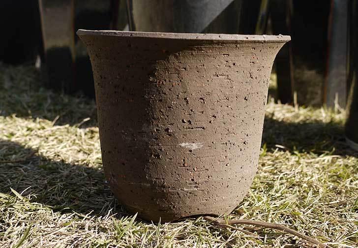 ウチョウラン-鉢-3.5号をケイヨーデイツーで買って来た1.jpg