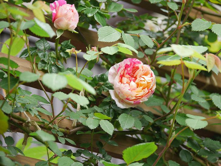 エドゥアール・マネ(Edouard Manet))の花が咲いた。半ツルバラ。2021年-004.jpg