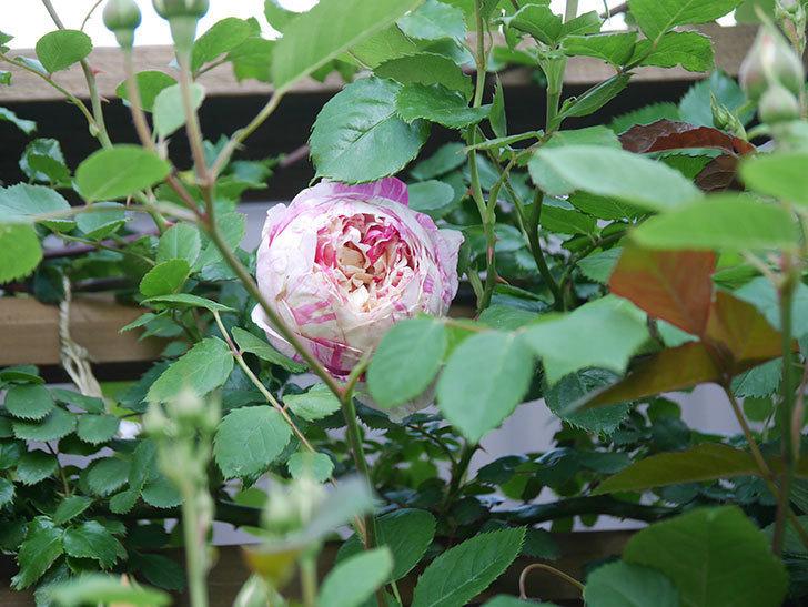 エドゥアール・マネ(Edouard Manet))の花が増えてきた。半ツルバラ。2021年-001.jpg