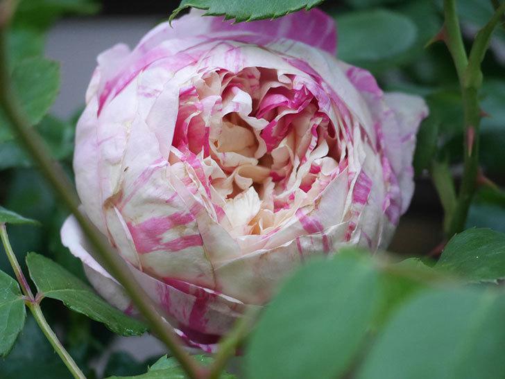 エドゥアール・マネ(Edouard Manet))の花が増えてきた。半ツルバラ。2021年-002.jpg