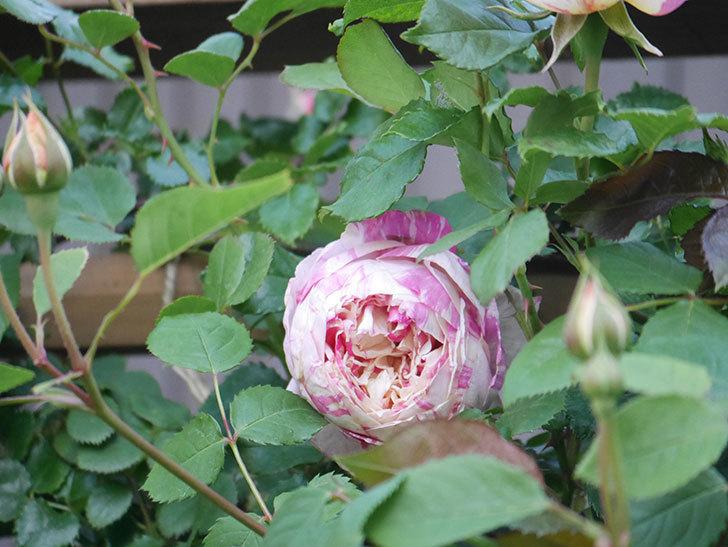 エドゥアール・マネ(Edouard Manet))の花が増えてきた。半ツルバラ。2021年-004.jpg