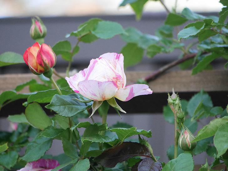 エドゥアール・マネ(Edouard Manet))の花が増えてきた。半ツルバラ。2021年-005.jpg
