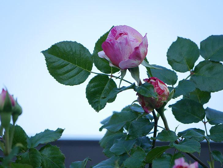 エドゥアール・マネ(Edouard Manet))の花が増えてきた。半ツルバラ。2021年-006.jpg