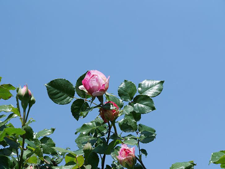 エドゥアール・マネ(Edouard Manet))の花が増えてきた。半ツルバラ。2021年-008.jpg