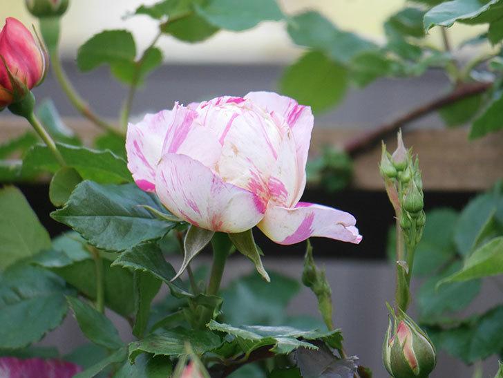 エドゥアール・マネ(Edouard Manet))の花が増えてきた。半ツルバラ。2021年-010.jpg