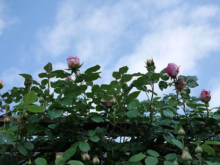 エドゥアール・マネ(Edouard Manet))の花が増えてきた。半ツルバラ。2021年-012.jpg