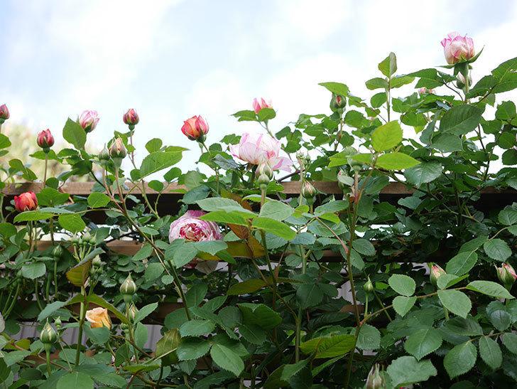 エドゥアール・マネ(Edouard Manet))の花が増えてきた。半ツルバラ。2021年-013.jpg