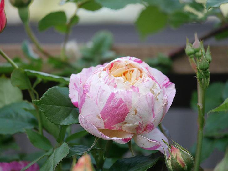 エドゥアール・マネ(Edouard Manet))の花が増えてきた。半ツルバラ。2021年-015.jpg