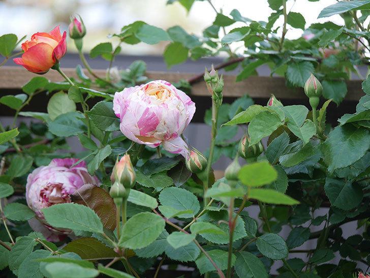 エドゥアール・マネ(Edouard Manet))の花が増えてきた。半ツルバラ。2021年-016.jpg