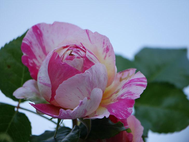 エドゥアール・マネ(Edouard Manet))の花が増えてきた。半ツルバラ。2021年-019.jpg