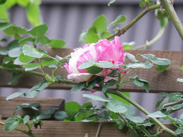 エドゥアール・マネ(Edouard Manet))の花が増えてきた。半ツルバラ。2021年-020.jpg
