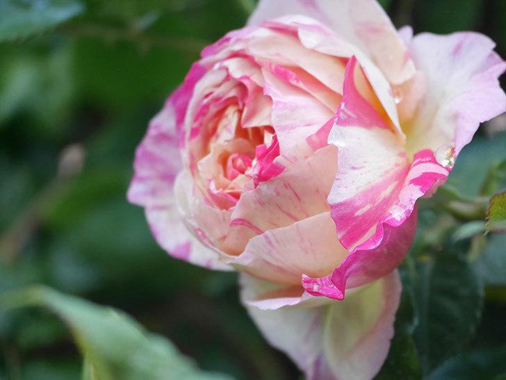エドゥアール・マネ(Edouard Manet))の花が増えてきた。半ツルバラ。2021年-024.jpg