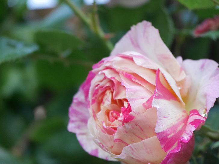 エドゥアール・マネ(Edouard Manet))の花が増えてきた。半ツルバラ。2021年-025.jpg