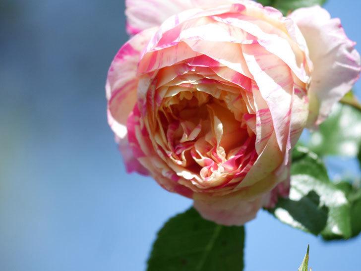 エドゥアール・マネ(Edouard Manet))の花が増えてきた。半ツルバラ。2021年-028.jpg