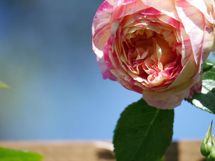 エドゥアール・マネ(Edouard Manet))の花が増えてきた。半ツルバラ。2021年-029.jpg