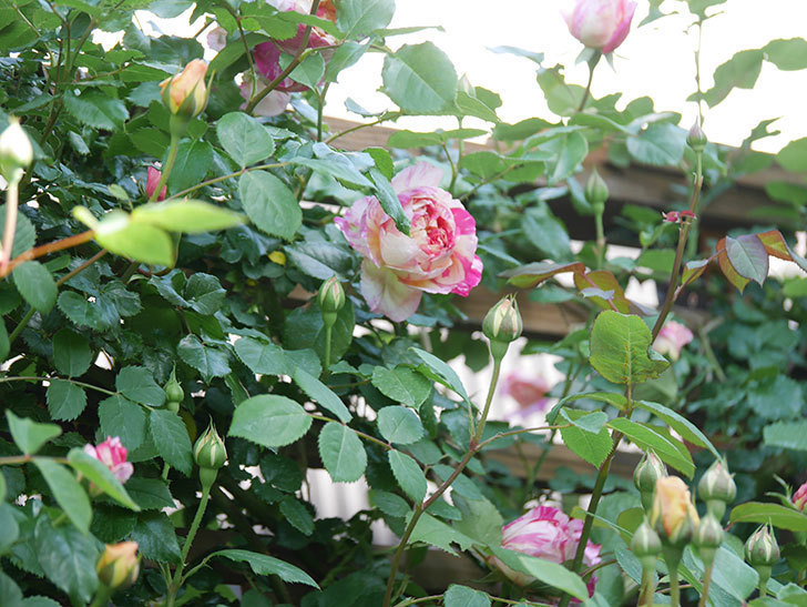エドゥアール・マネ(Edouard Manet))の花が増えてきた。半ツルバラ。2021年-030.jpg