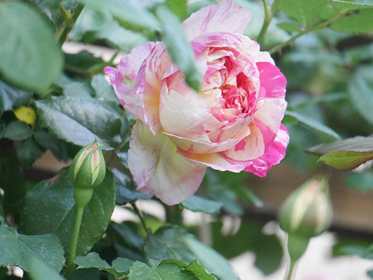 エドゥアール・マネ(Edouard Manet))の花が増えてきた。半ツルバラ。2021年-031.jpg