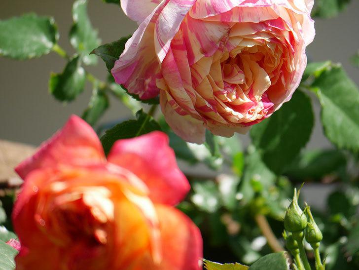 エドゥアール・マネ(Edouard Manet))の花が増えてきた。半ツルバラ。2021年-035.jpg