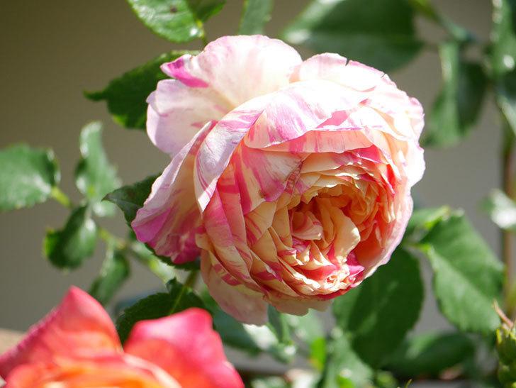 エドゥアール・マネ(Edouard Manet))の花が増えてきた。半ツルバラ。2021年-036.jpg